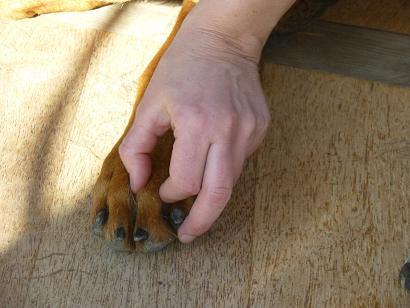 massage phalanges chien