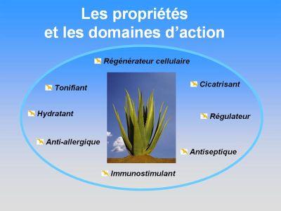 Aloebienetre l aloe vera barbadensis miller - Ou trouver de l aloe vera en plante ...